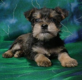 Snorkie Puppies Purebred Puppies Puppies For Sale