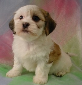 Shih Tzu Bichon Puppies For