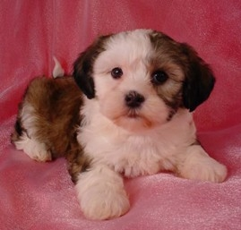Bichon Frise And Shih Tzu Mix Puppies