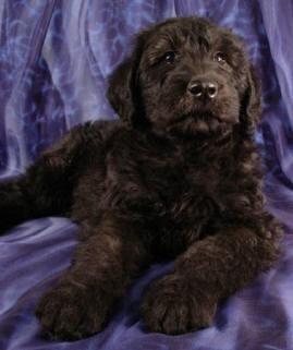 Giant Schnoodle Purebred Puppies Dog Breeder
