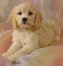 Female Cockapoo