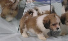Lhasa Bichon  Puppy for Sale Sold