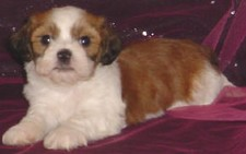 Lhasa Bichon 