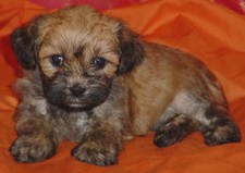 Poodle Lhasa Apso 