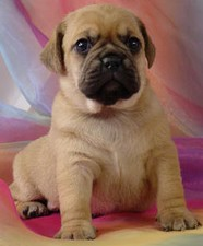 Female Puggle