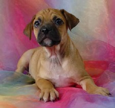 Male Puggle