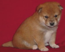 Shiba Inu 